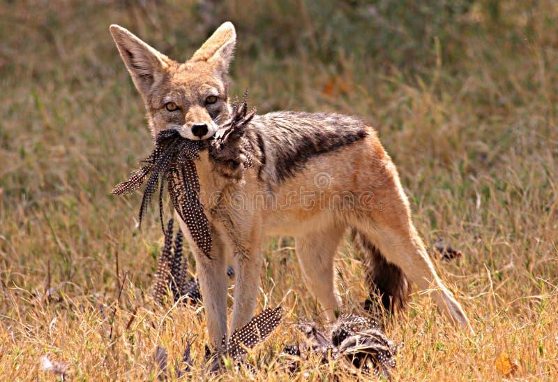 非洲狐狼 免版税库存图片