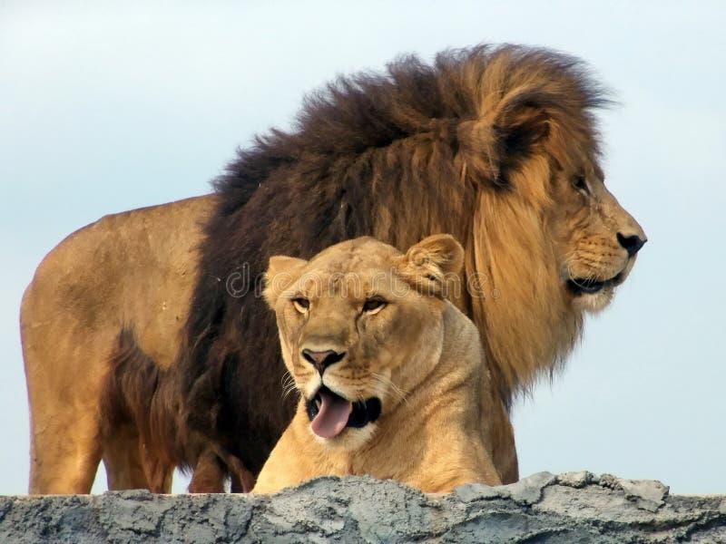 非洲狮子狮子徒步旅行队 库存图片