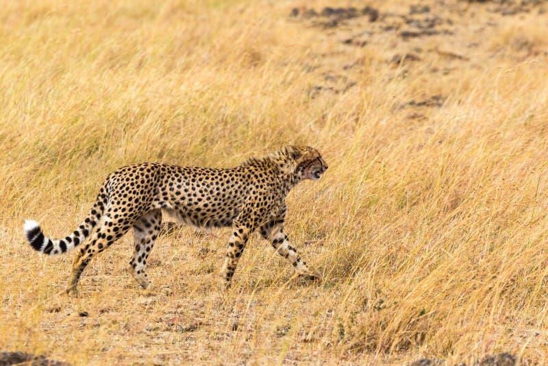 非洲猎豹 mara马塞语 肯尼亚,非洲 免版税库存照片