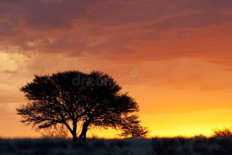 非洲现出轮廓的日落结构树 库存照片