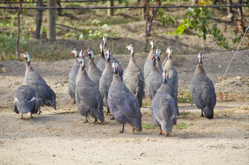 非洲珠鸡葡萄园 库存图片
