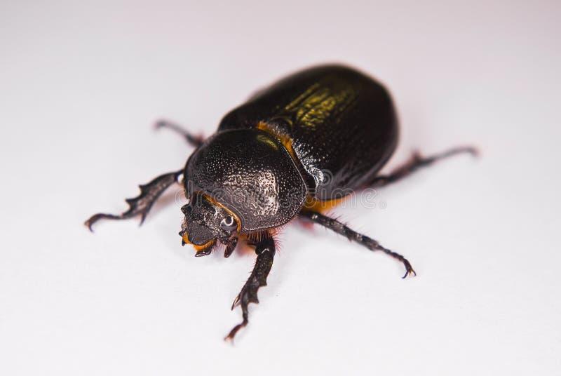 非洲甲虫黑色 免版税库存照片