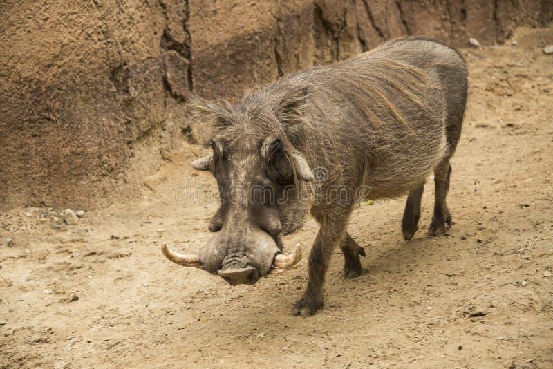 非洲男性warthog在坦桑尼亚叫与象牙的公猪和大面部篱笆条 图库摄影