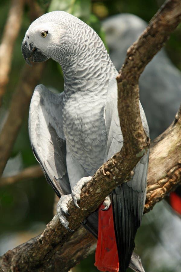 非洲画眉灰色鹦鹉psittacus 图库摄影
