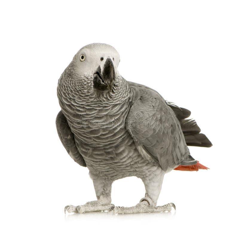 非洲画眉灰色鹦鹉psittacus 免版税图库摄影