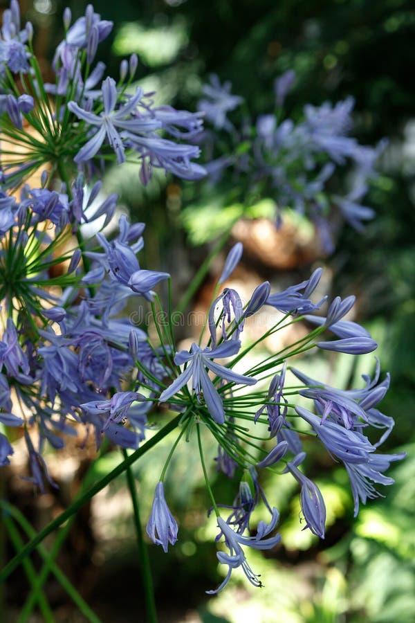 非洲百合,爱情花africanus,与白色条纹的紫色花从家庭百子莲科,起源于南非 免版税库存照片
