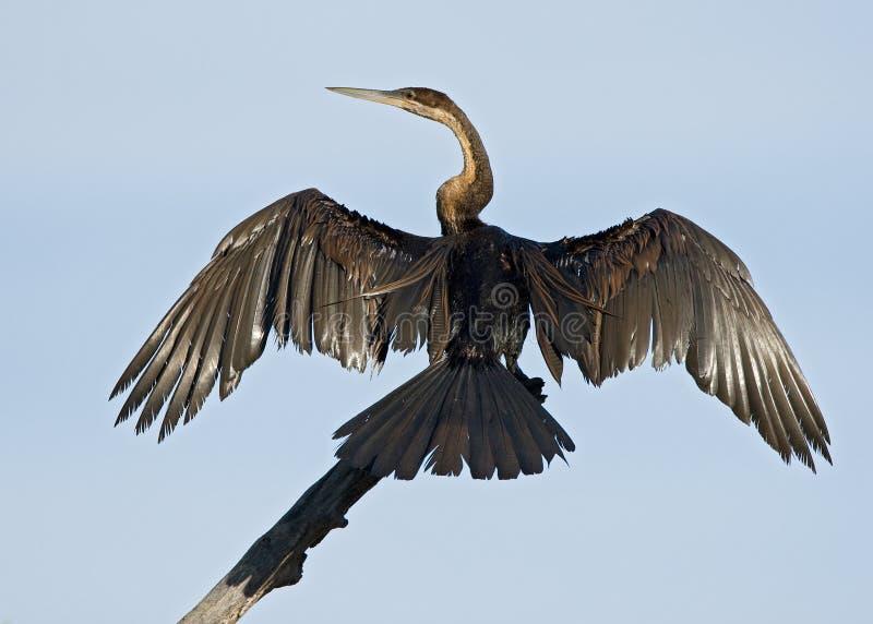 非洲突进者, Afrikaanse Slangenhalsvogel,美洲蛇鸟rufa 图库摄影