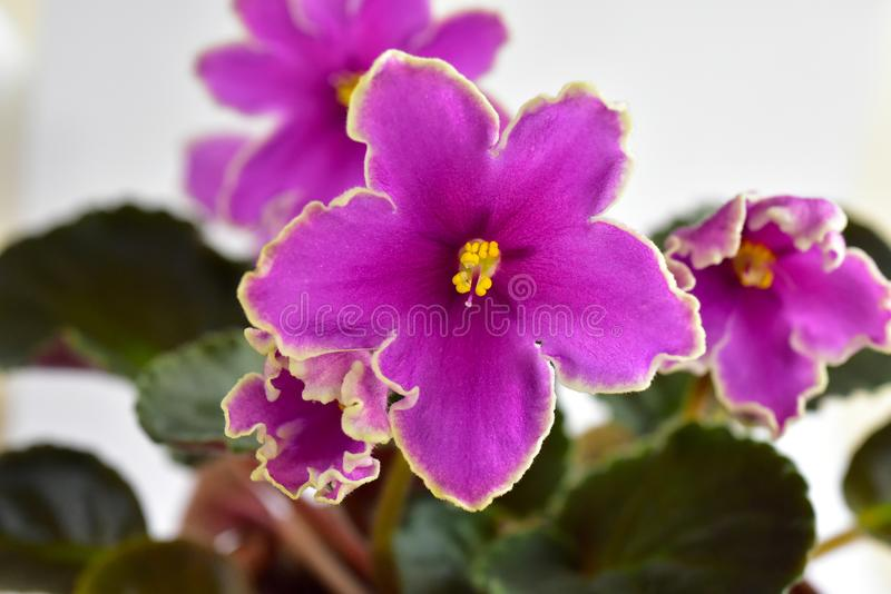 非洲紫罗兰植物品种冰冷的日落 图库摄影