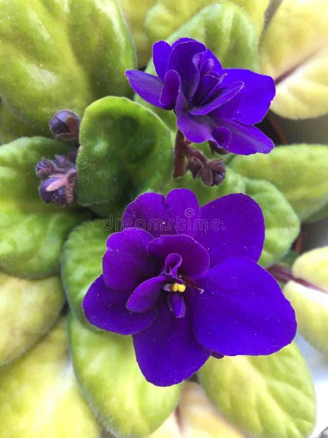 非洲紫罗兰的富有的紫色花 库存照片
