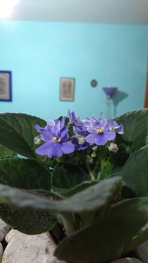 非洲紫罗兰 库存照片