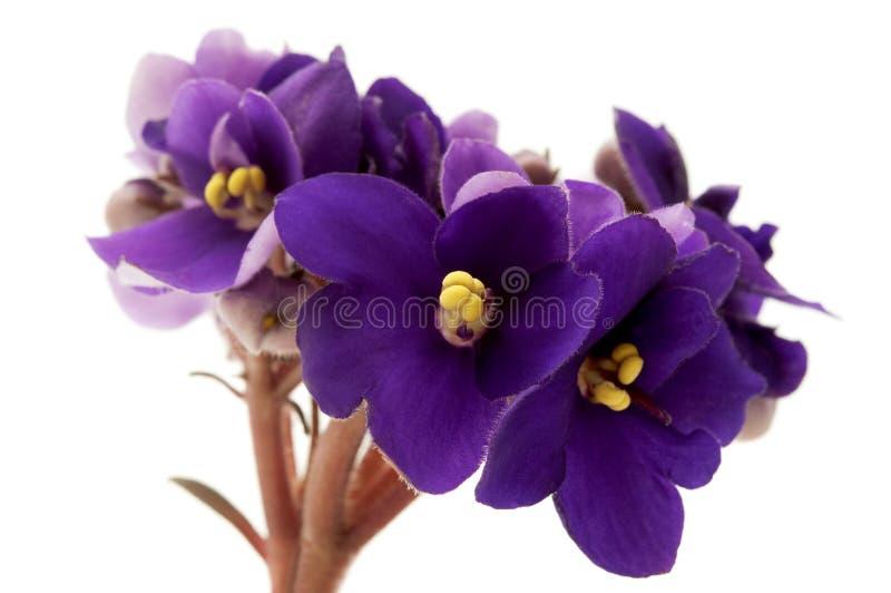 非洲紫罗兰 免版税库存照片