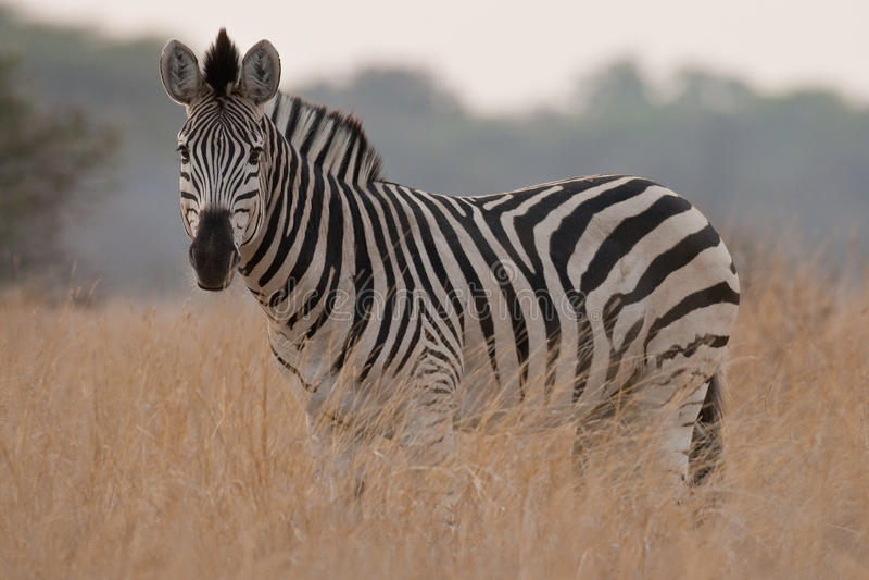 非洲纵向南部的野生斑马 免版税库存照片