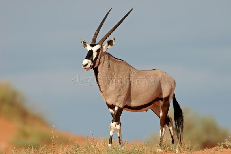 非洲羚羊沙漠大羚羊南的kalahari 库存图片
