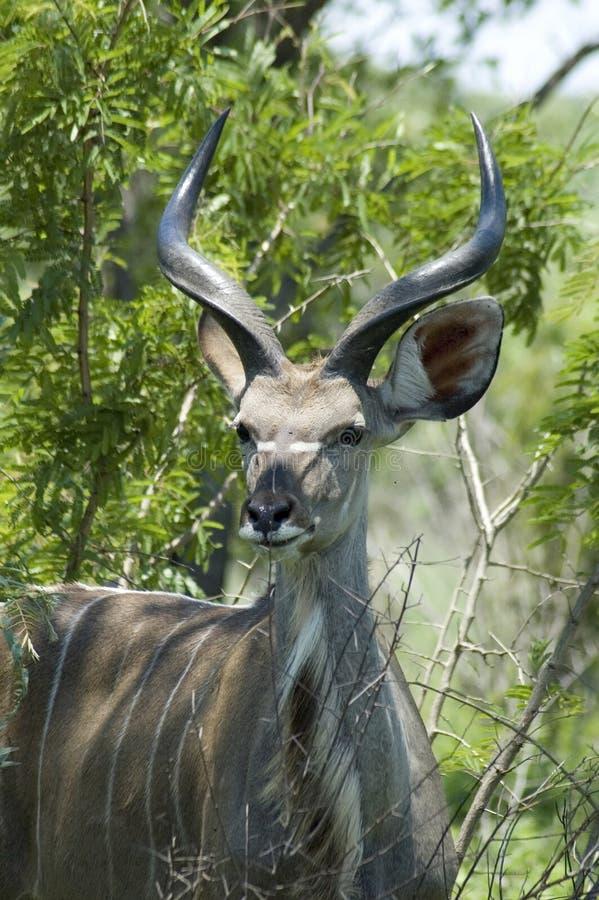 非洲羚羊kudu 库存照片