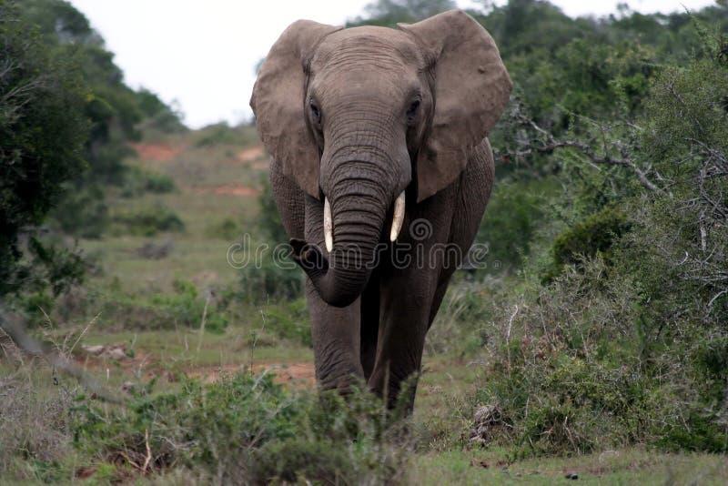 非洲航空大象闻 免版税库存照片