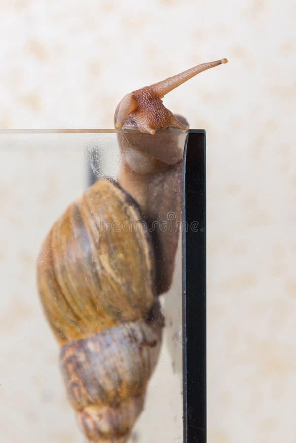 非洲蜗牛Achatina沿水族馆墙壁爬行 库存照片
