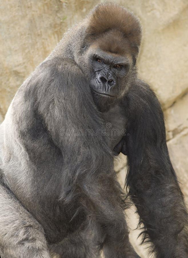 非洲西部大猩猩低地男性的silverback 免版税库存图片