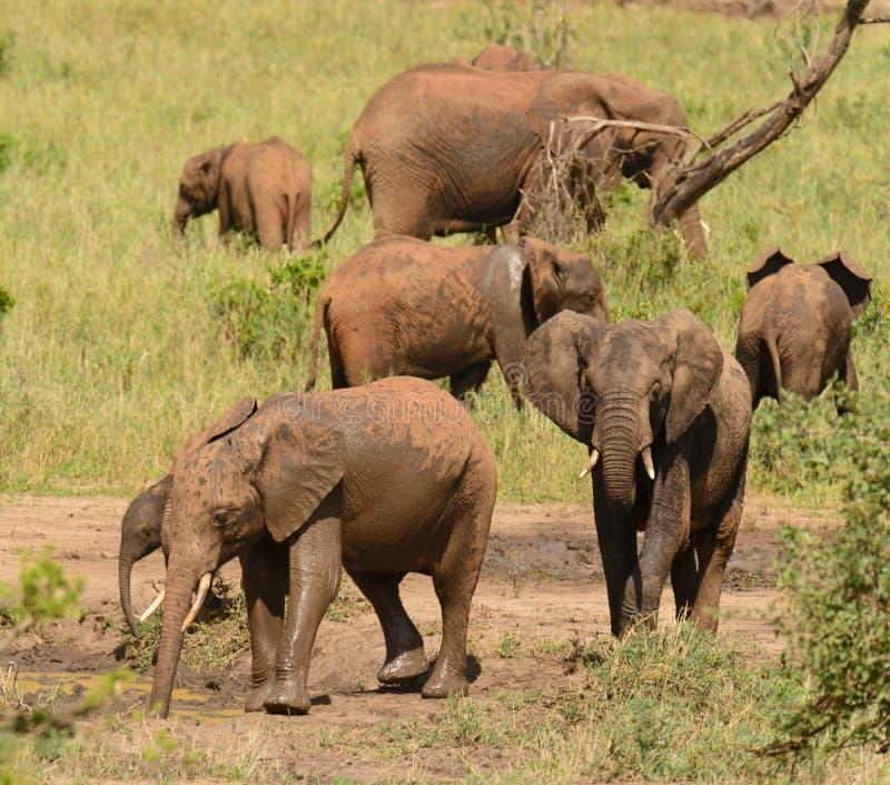非洲象家族 库存图片