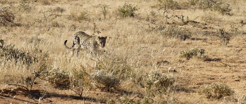 非洲豹子通过干草在明亮的清早阳光下接近在Okonjima自然保护,纳米比亚 库存图片
