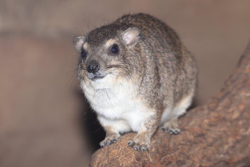 非洲蹄兔岩石被察觉的黄色 库存图片