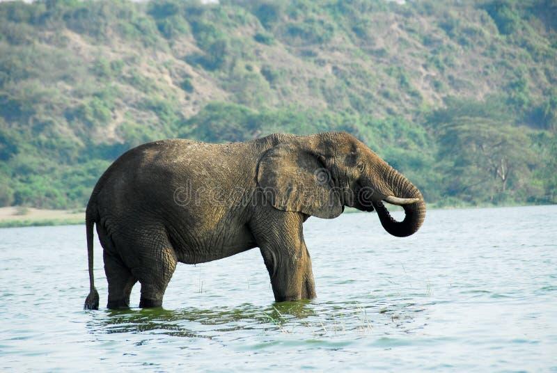 非洲通道大象kazinga男乌干达 免版税库存图片