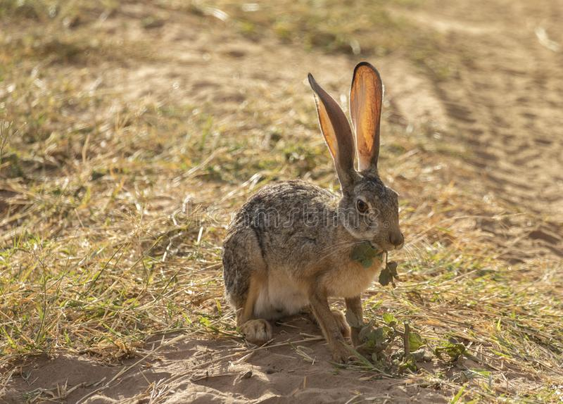 非洲野兔,天兔座海角充分的身体画象,当由后面照的大耳朵吃叶子,当坐草在土路旁边时 库存图片