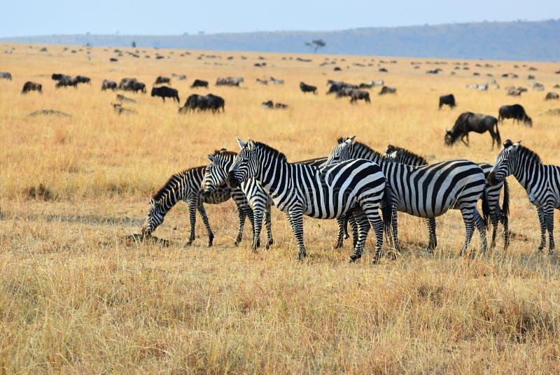 非洲野生生物,肯尼亚 图库摄影