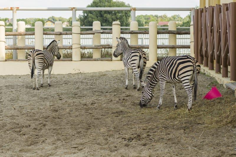 非洲镶边斑马在动物园里 免版税库存图片