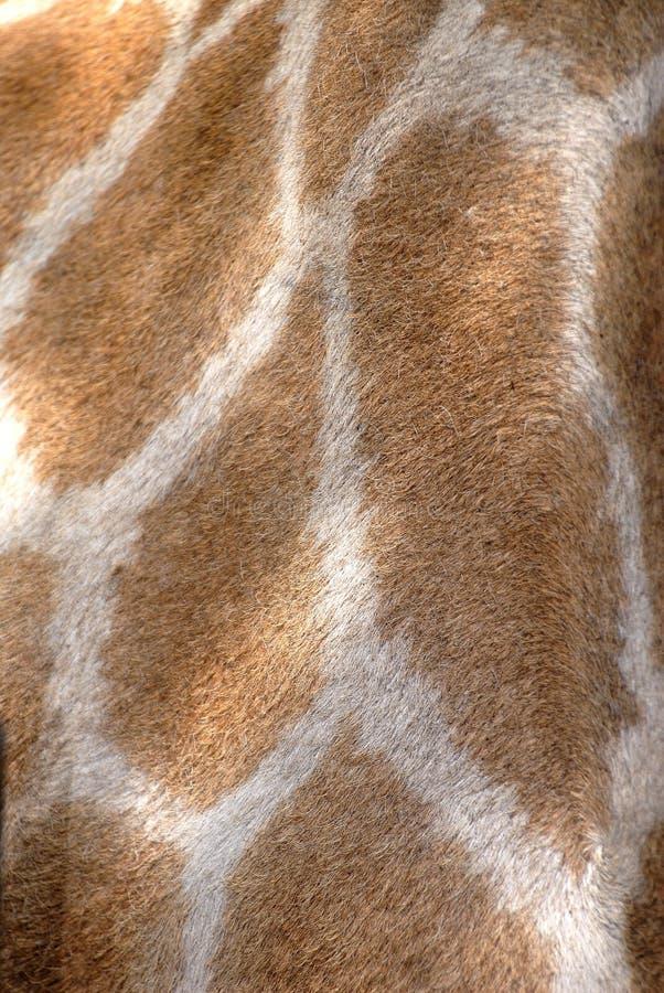非洲长颈鹿南地点 免版税库存照片