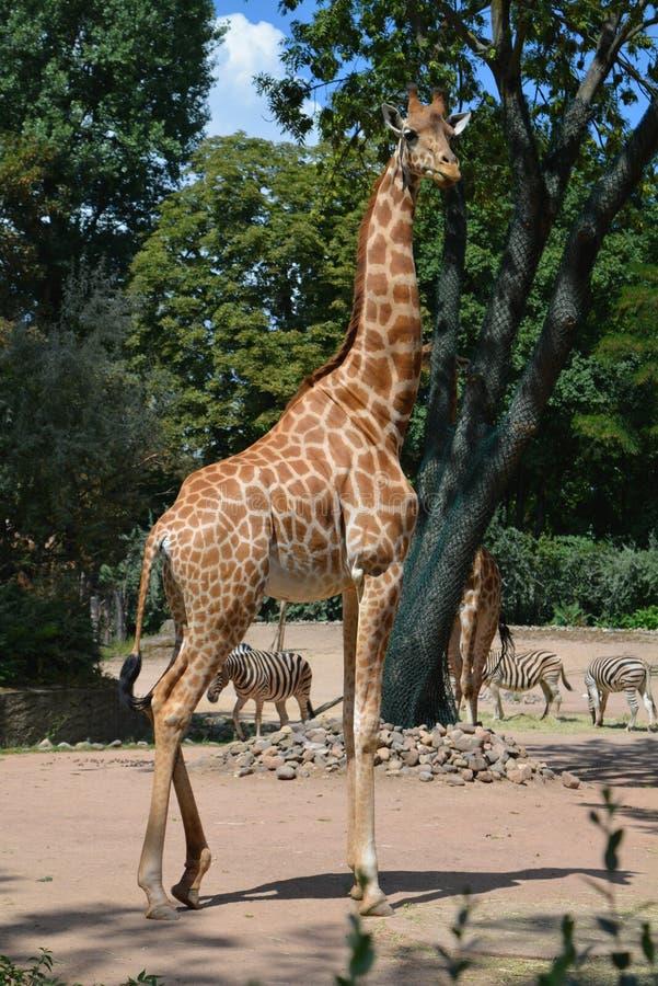 非洲长颈鹿在德累斯顿德国动物园里  库存照片