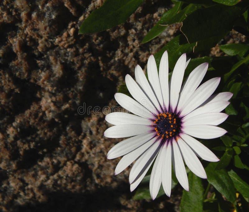 非洲雏菊或蓝眼睛的雏菊与datlight 免版税库存照片