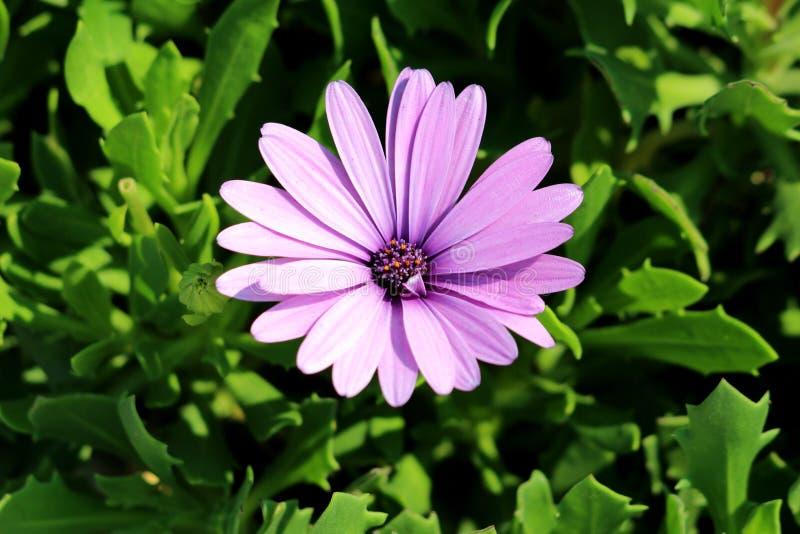 非洲雏菊或Osteospermum植物有开花的浅紫色的花瓣的和五颜六色的中心在深绿叶子背景 免版税库存照片