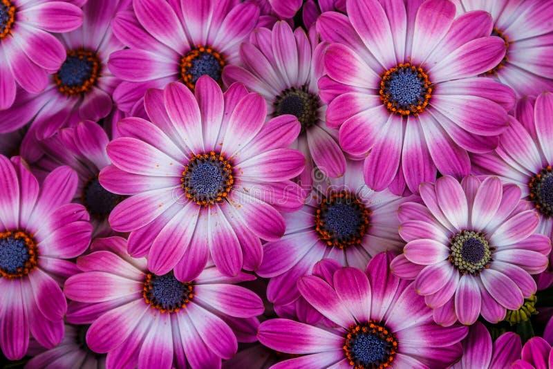 非洲雏菊美丽的开花的花  库存照片