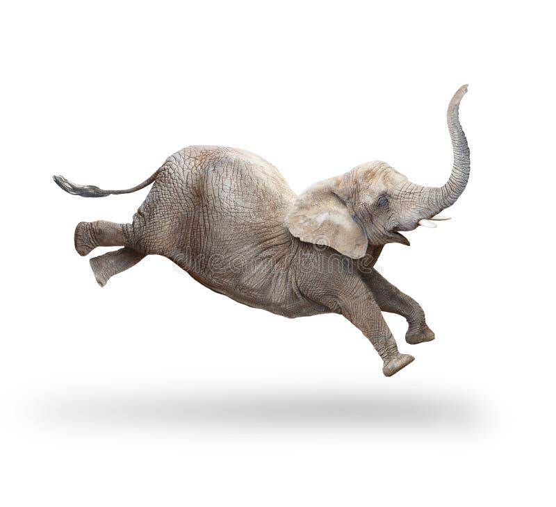 非洲非洲africana大象非洲象属拍摄了南通配 库存图片