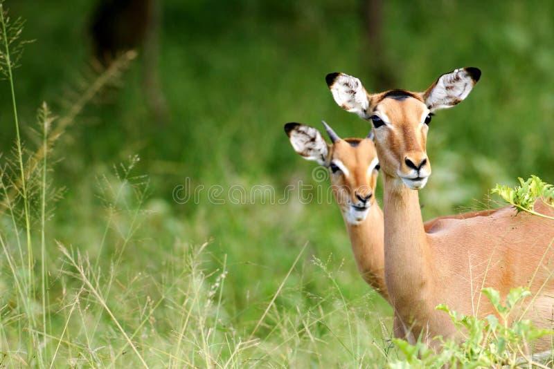 非洲飞羚 图库摄影