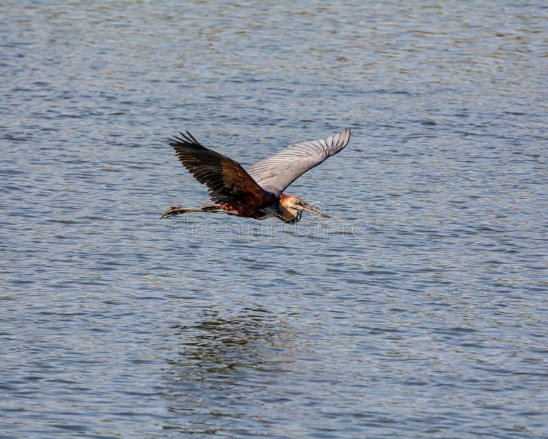 非洲飞行巨人苍鹭最大的s 库存照片
