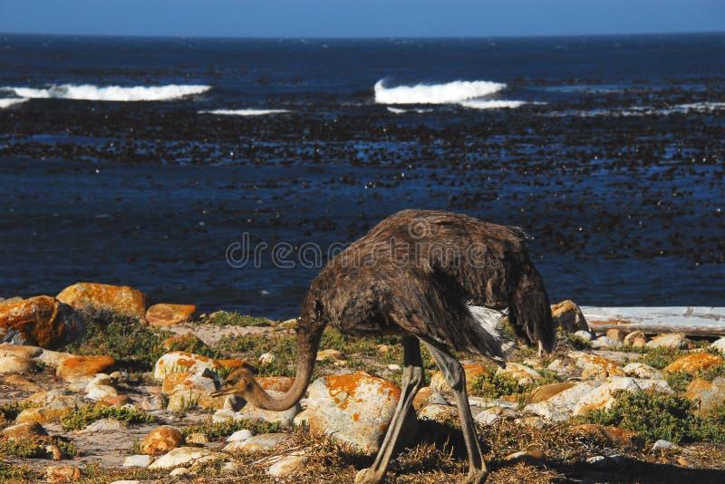 非洲驼鸟海开普敦半岛,南非 免版税库存图片