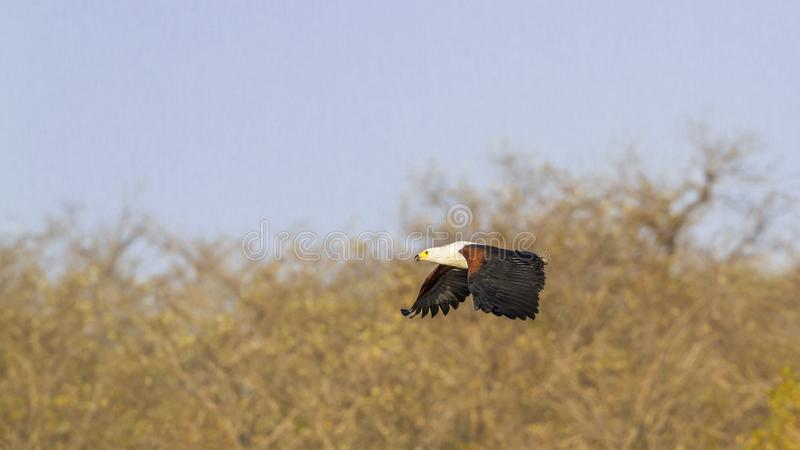 非洲鱼鹰在克鲁格国家公园,南非 库存照片