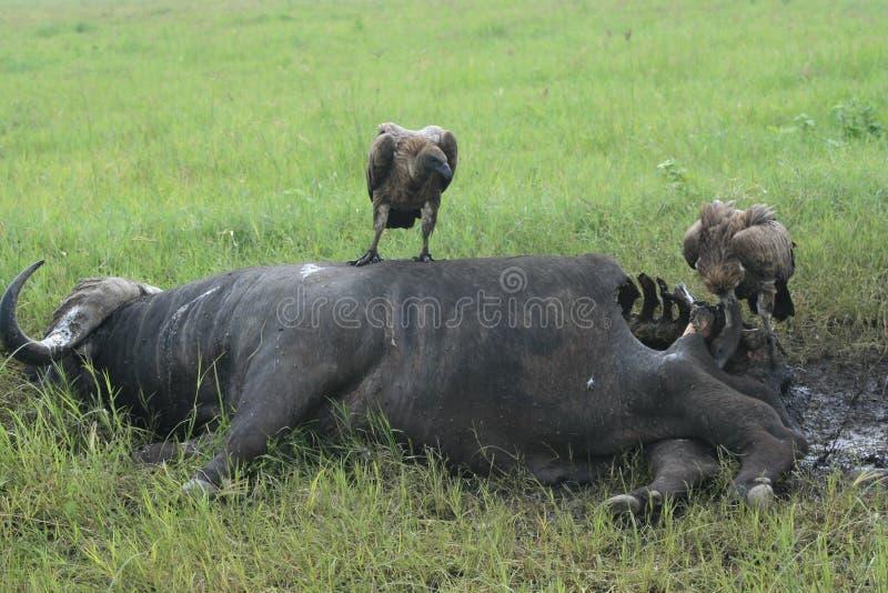 非洲鸟水牛ofprey坦桑尼亚雕 库存照片