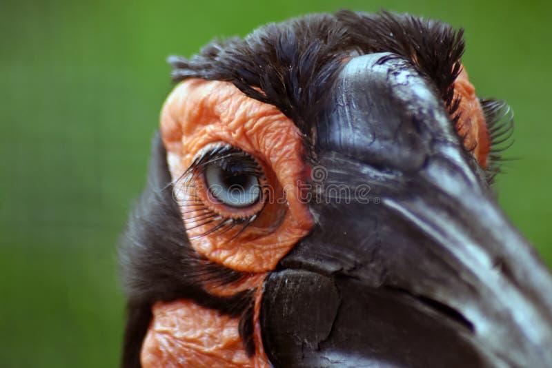 非洲黑人南部的有角的掠夺鸟,另一个名字-南部的地面犀鸟 库存图片