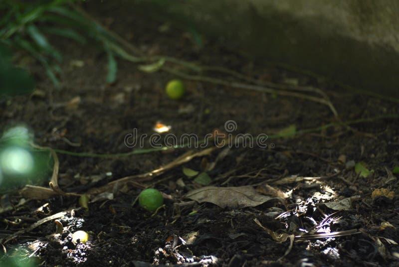 非洲黑人在地面的石灰果子 免版税库存照片