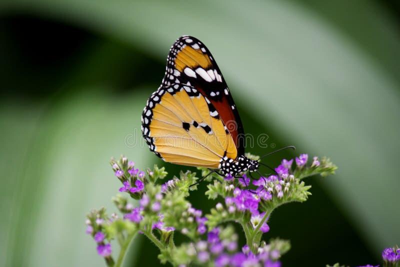 非洲黑脉金斑蝶的特写镜头 免版税库存图片