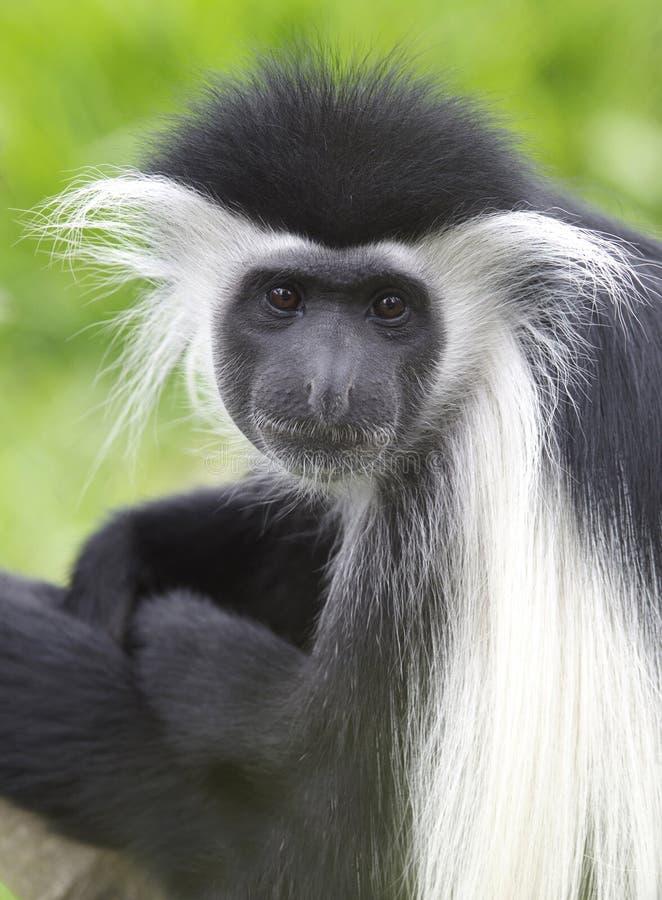 非洲黑色疣猴肯尼亚猴子白色 免版税库存照片
