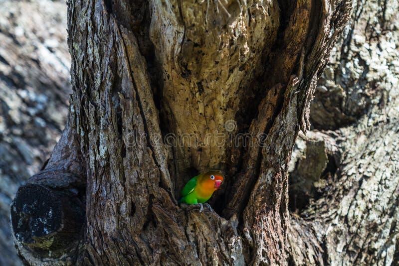 非洲-爱情鸟的小鸟 serengeti坦桑尼亚 免版税图库摄影