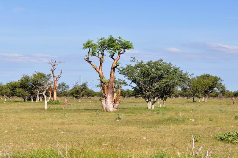 非洲etosha moringa纳米比亚同水准大草原结构 库存图片