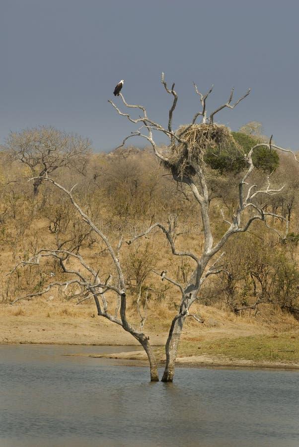 非洲fisheagle 免版税图库摄影