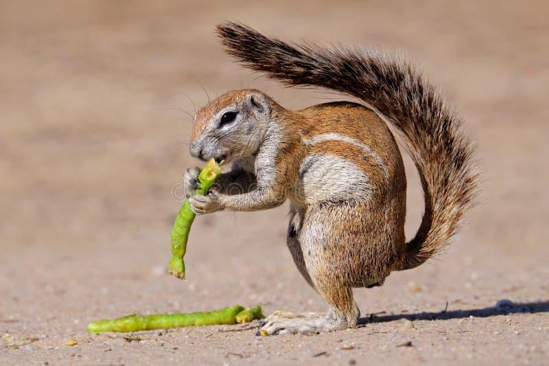 非洲kalahari南灰鼠 免版税库存照片