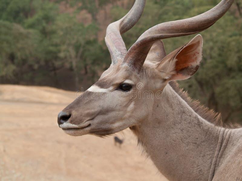 非洲kudu 免版税库存图片