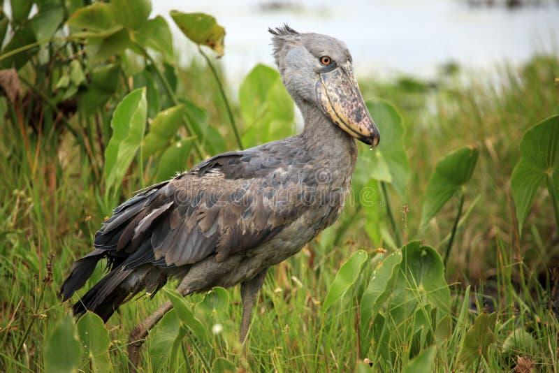 非洲shoebill通配的乌干达 库存照片
