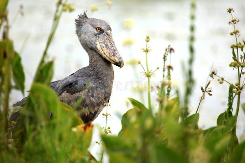 非洲shoebill通配的乌干达 免版税库存照片